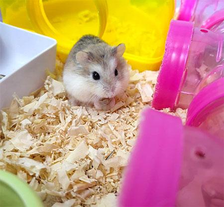 petit hamster âge