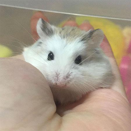 hamster dans la main
